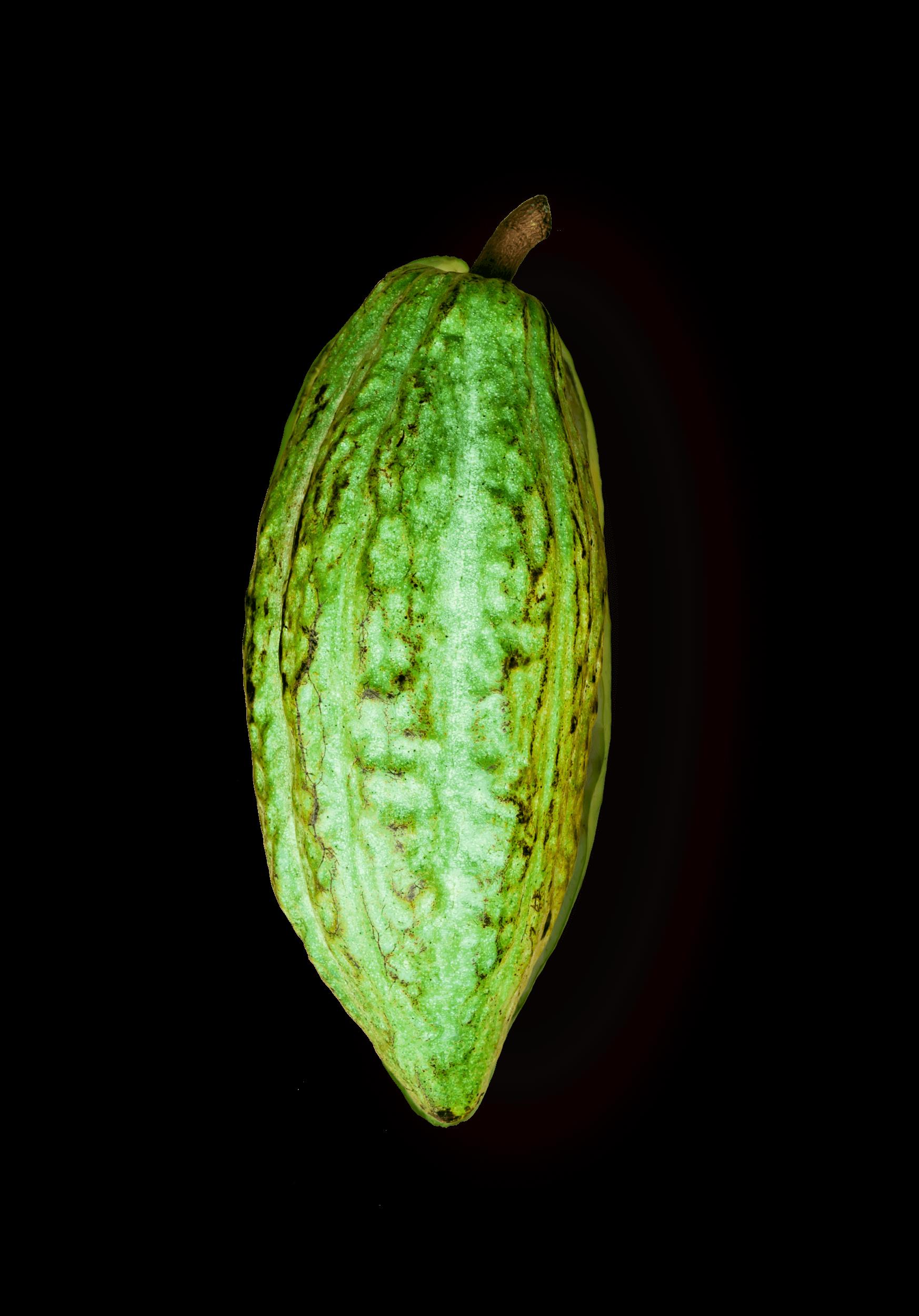 Criollo kakao pupa