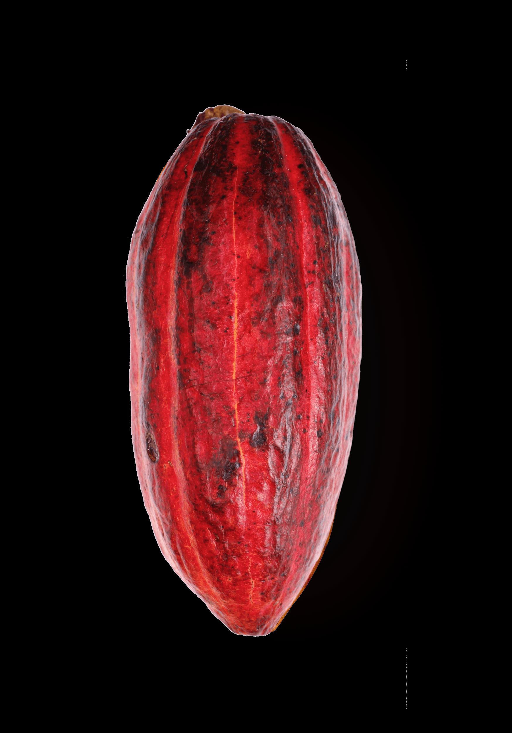 Trinitario kakao pupa