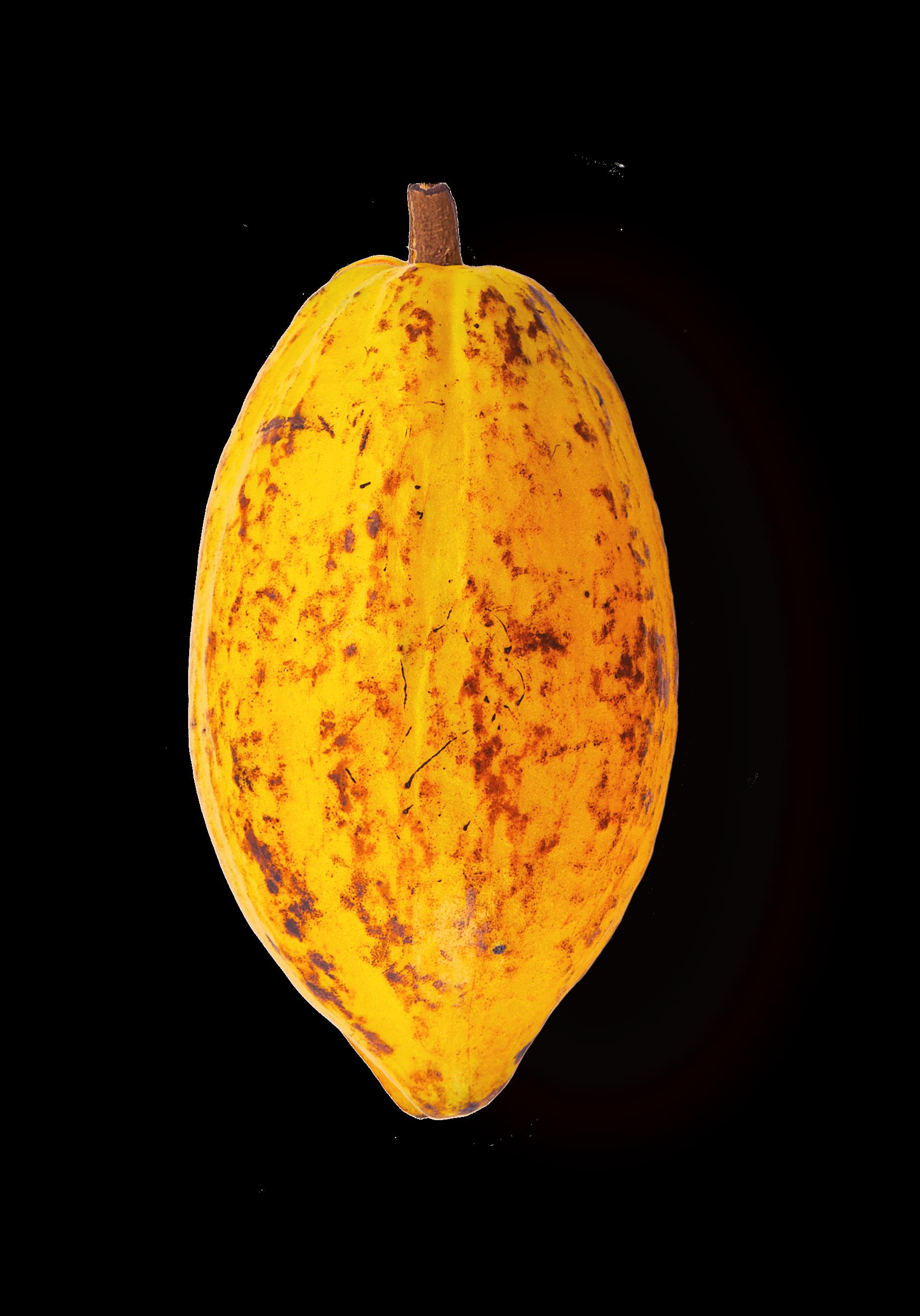 Forastero kakao pupa